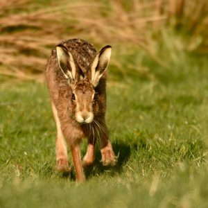 Spring has sprung! Beautiful Hare photographed on the 3000 a...